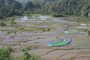 extensive rice paddies in the Lake Toba area