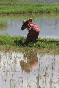 woman working her rice paddy