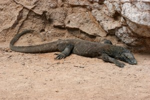 the first Komodo Dragon, near the jetty of Rinca
