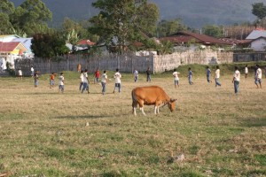 Ruteng football pitch, including cow