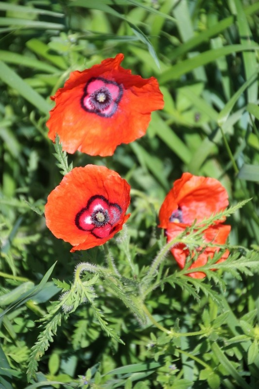 and to add a bit of colour, poppies