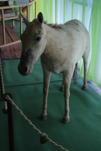 the Przhevalsky horse, a stuffed version, in the museum