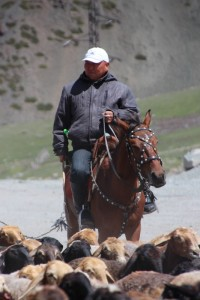 horse rider managing sheep and horses across the mountains to summer pastures