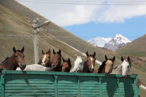 some of the horses travel by truck