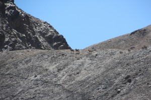 Marco Polo sheep spurting away, almost invisible against the mountain slope