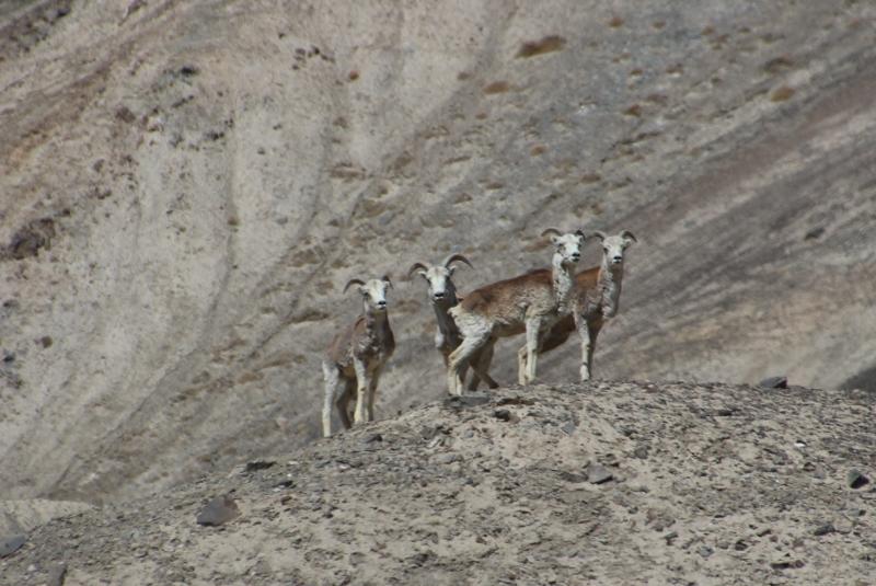 Marco Polo schapen stellen zich op voor de camera