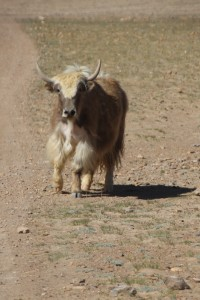 a yak, curious about us intruders