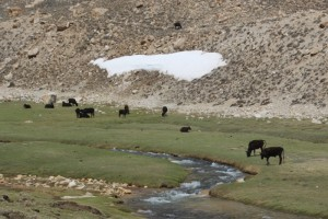 cows near the Maisara Pass