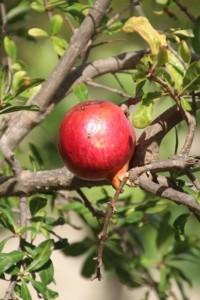a pommegranate, on Monzi island