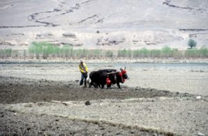 working the land, outside Shigatse