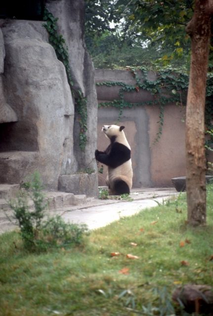 the giant panda, in the research centre