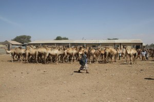 The camel market in Hargeisa