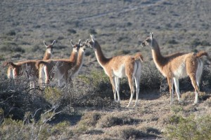 guanacos, safely on the other side of the fence