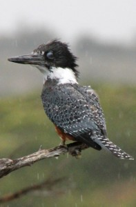 another activity: bird watching. This is a Martin-Pescador, a kingfisher