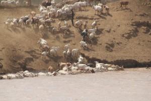 cows enjoying the river