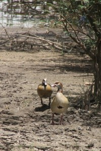 and some Egyptian ducks