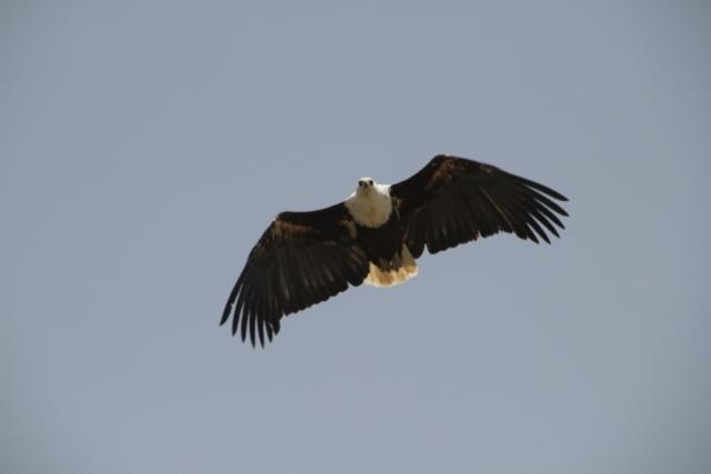 impressive fish eagle in flight