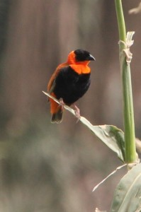 and an orange and black bird, no idea what it is called