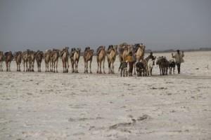 another camel caravan