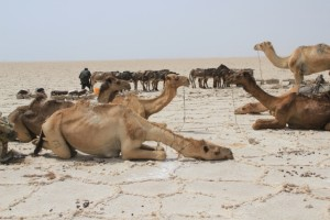 camels resting ahead of their two-day journey to the salt markets