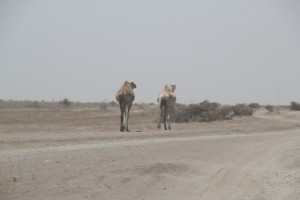 used by wandering camels, too