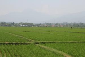 countryside: rice padis and houses