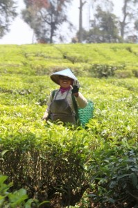 plantation worker busy picking tea leaves