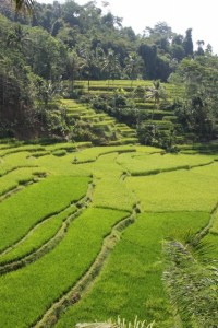picture-perfect rice padis
