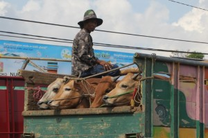 cattle being transported by truck