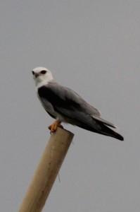 and a rare, but impressive, bird of prey