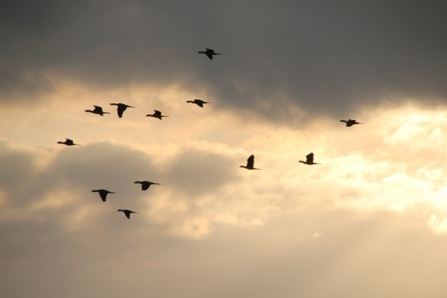 and herons in flight, against a colouring sky