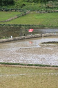 rice paddies and parasol - don't ask me why