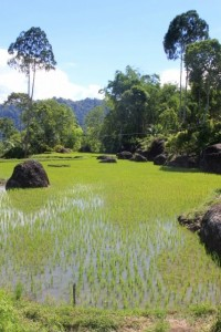 rice paddies on the way to Tikala