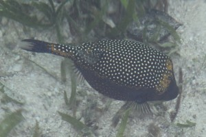 here a dotted fat fish, official name unknown