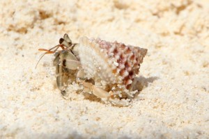 one armed with somebody else's shell (hermite crab)