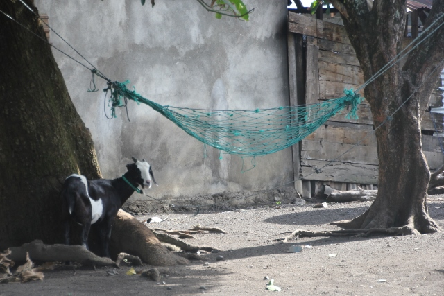 goat contemplating whether to get in the hammock or not