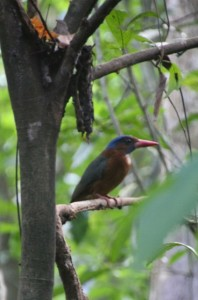 a kingfisher, difficult to spot in bewteen the dense foliage