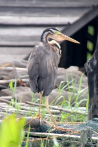 a heron, apparently used by the fishermen