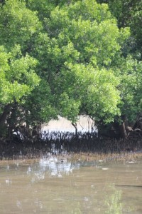 mangroves outside the harbour