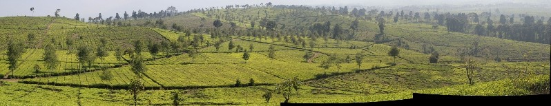 the Malabar Tea Estate