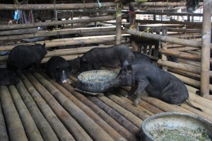 pigs for sale, in their bamboo cot