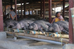 pigs – huge ones! - ready for transport