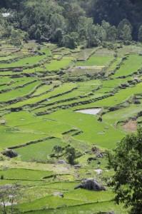 terraced rice paddies outside Batutumonga