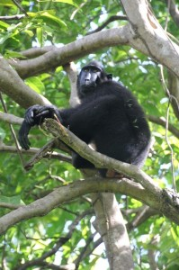 another black macaque relaxing in the tree