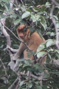 another proboscis monkey