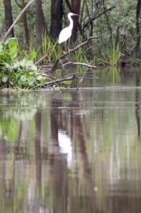 white heron along the stream