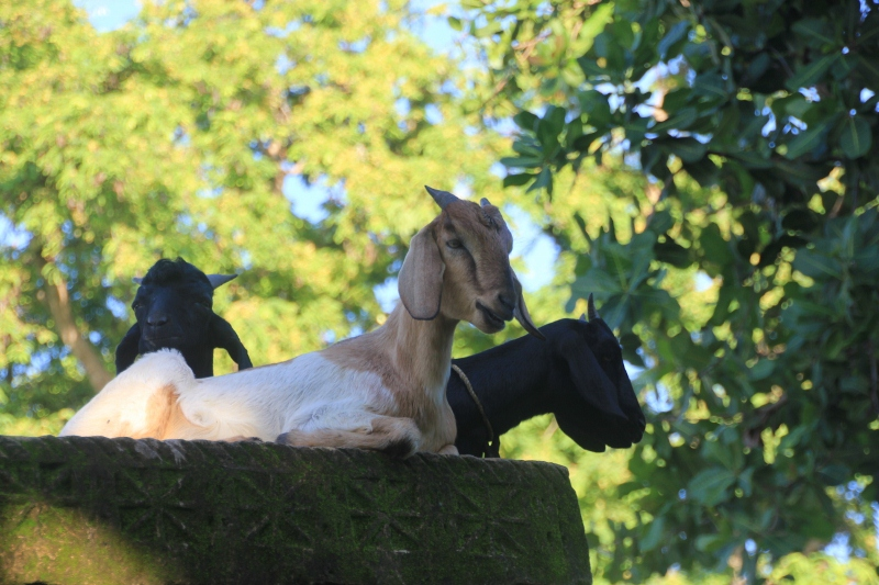 the goats have taken over the most comfortable tombs