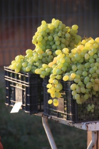 some of the grapes are just being sold along the motorway