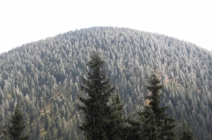 at 1500 m or os the tops of the trees are white, even though it is only end September