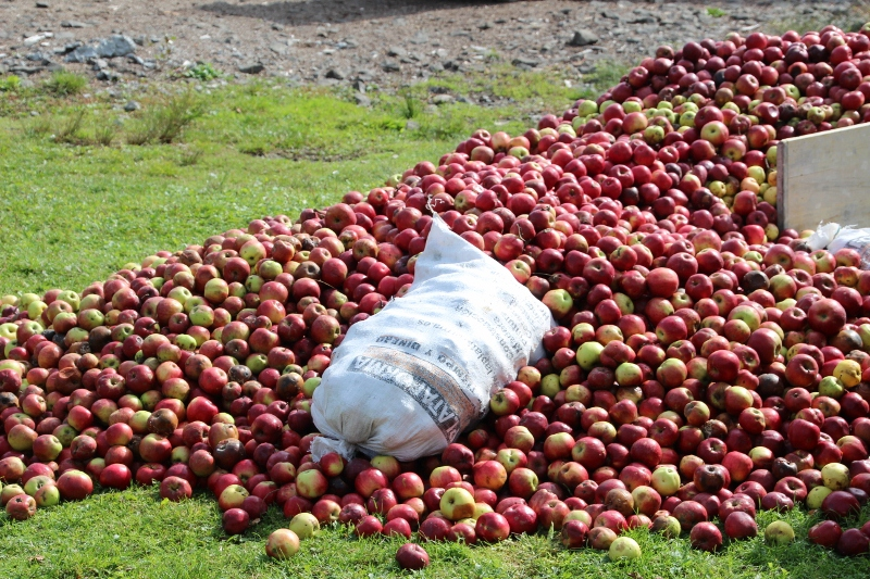 apples galore, at this time of the year